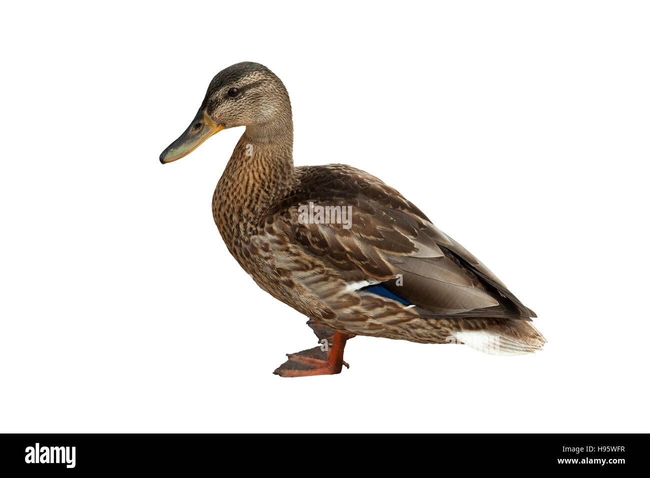 wild duck (Anas platyrhynchos) on white background - Stock Image