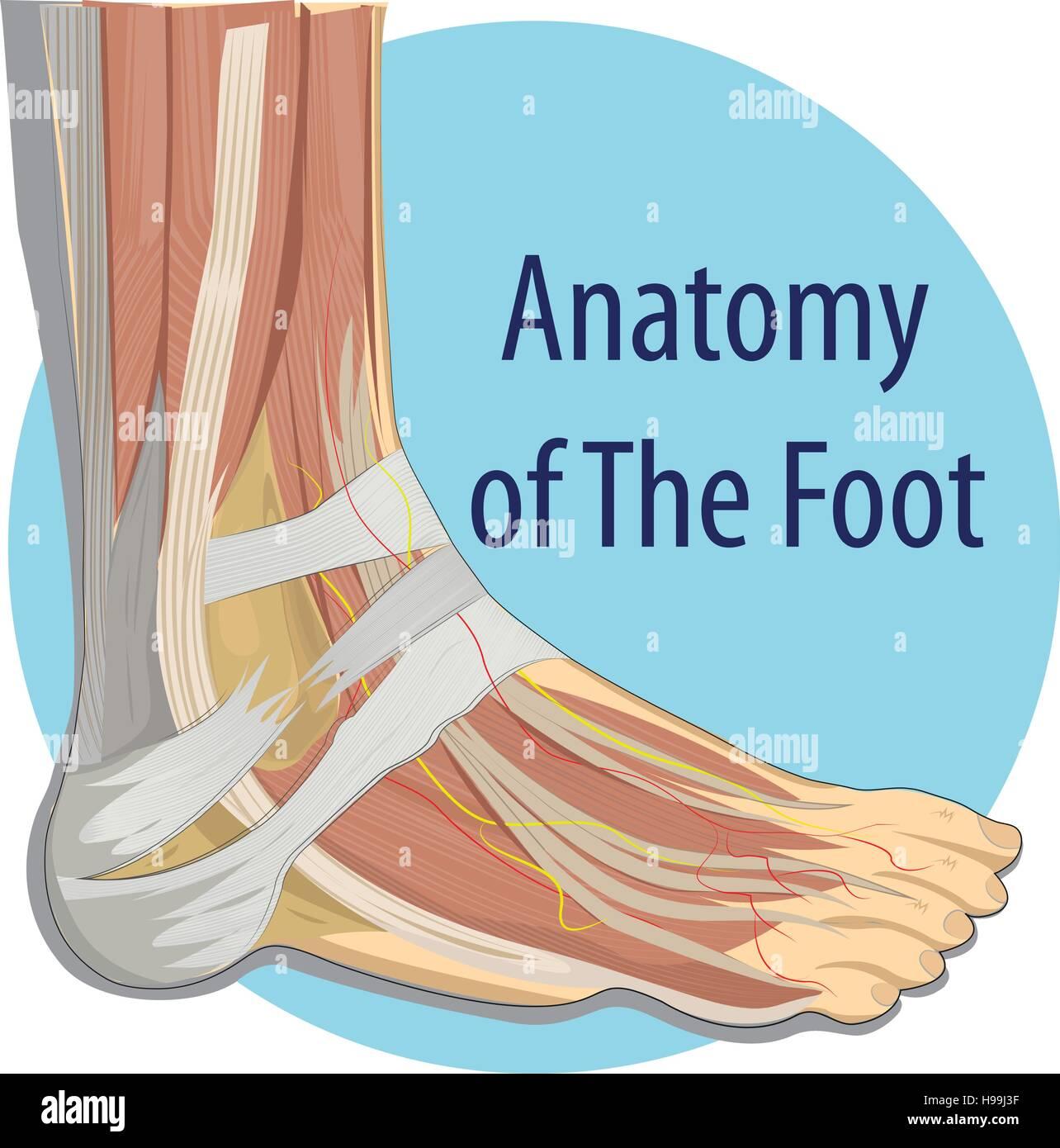 Vector Illustration Anatomy Of The Foot Stock Vector Art