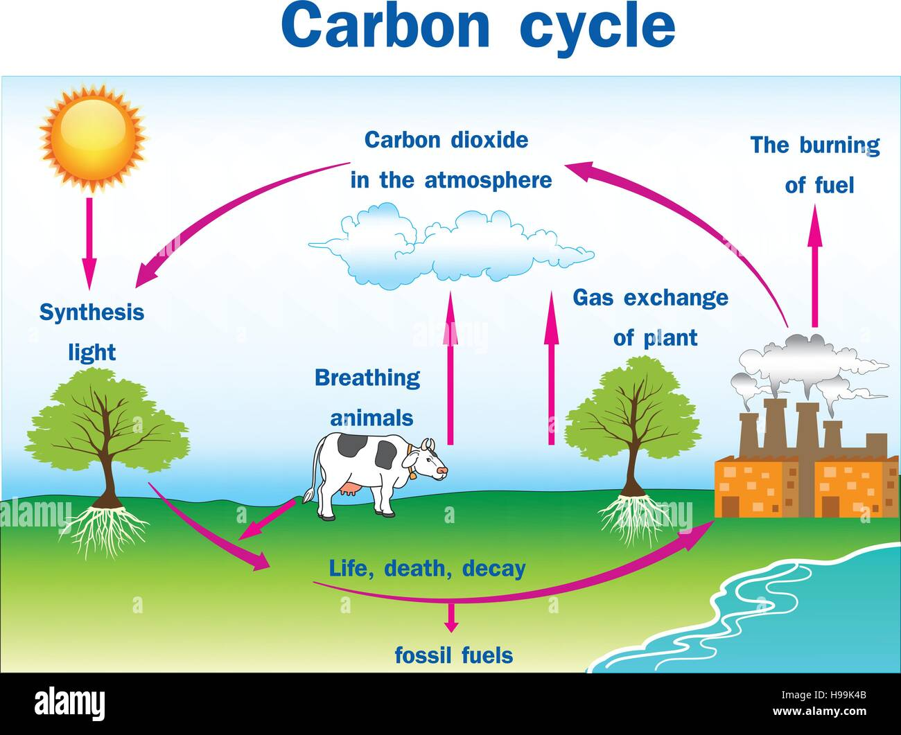 Cell Diagram Project Not Lossing Wiring Vector Illustration Of Carbon Cycle Stock Art Membrane 3d
