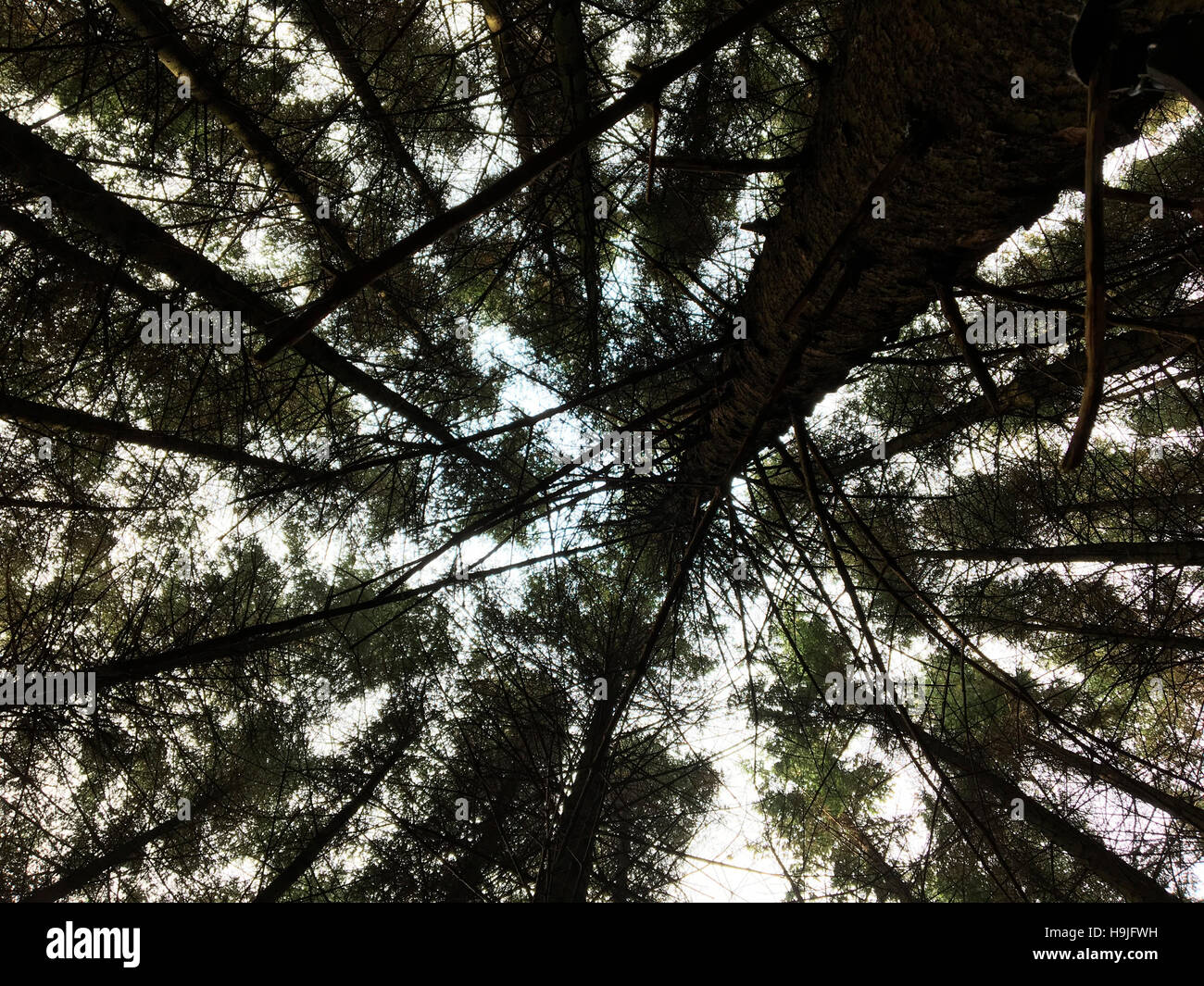 View looking up through conifer trees in forestry Wales UK - Stock Image