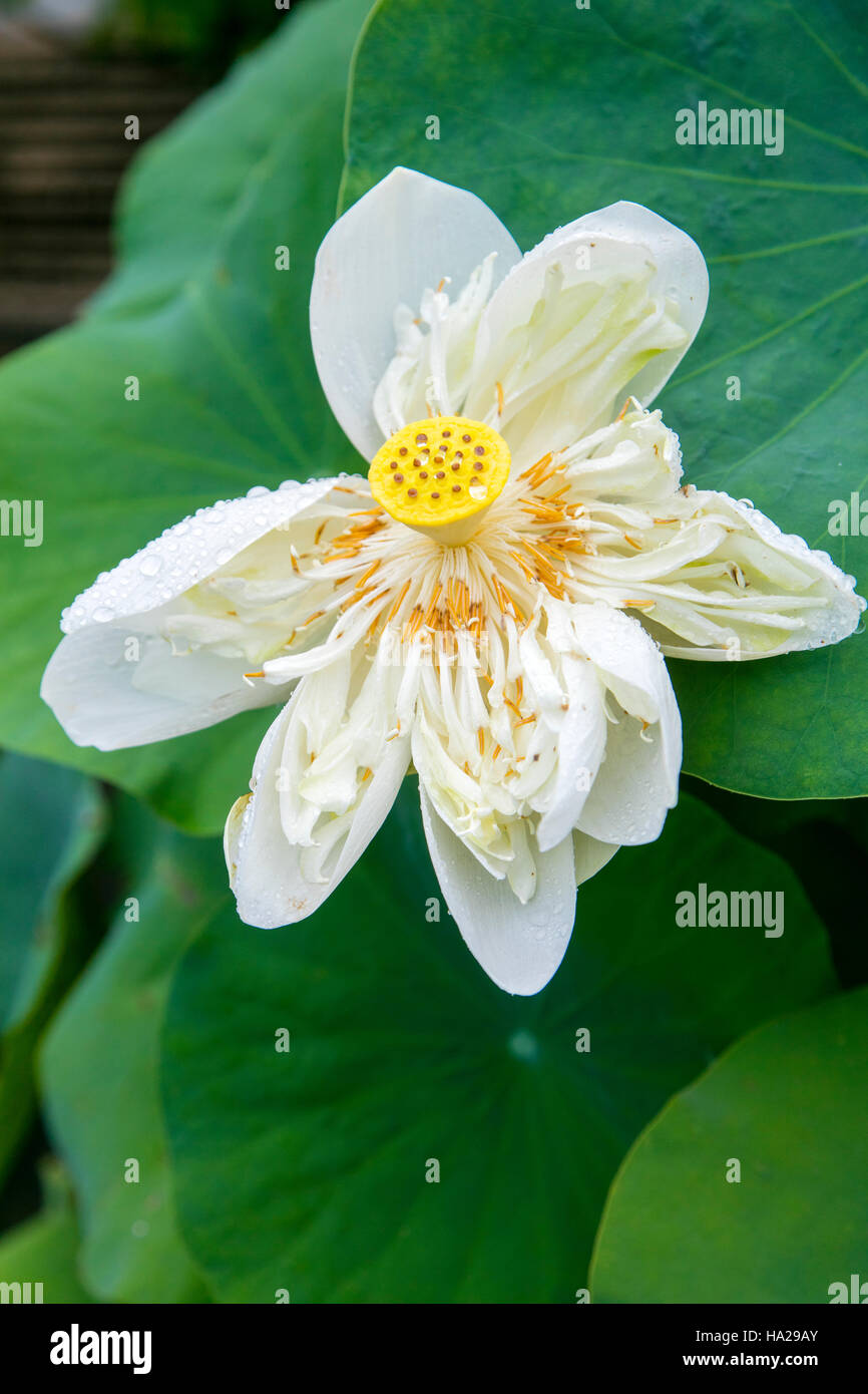 Lotus Blossom Flower Vietnam Asia Stock Photo 126670403 Alamy