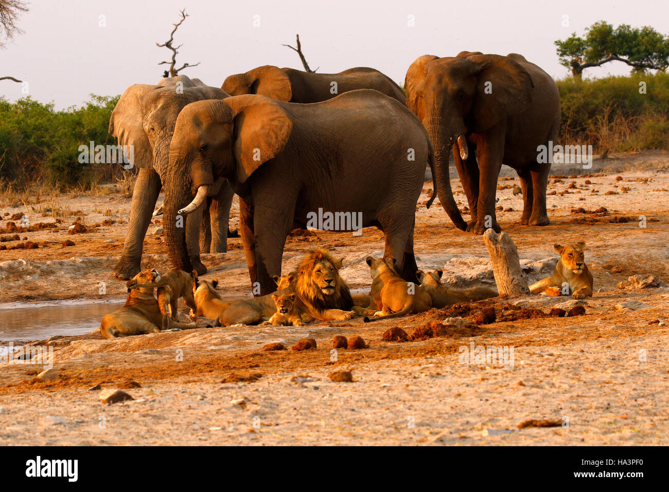 a pride of lions very close to a herd of elephants during a drought
