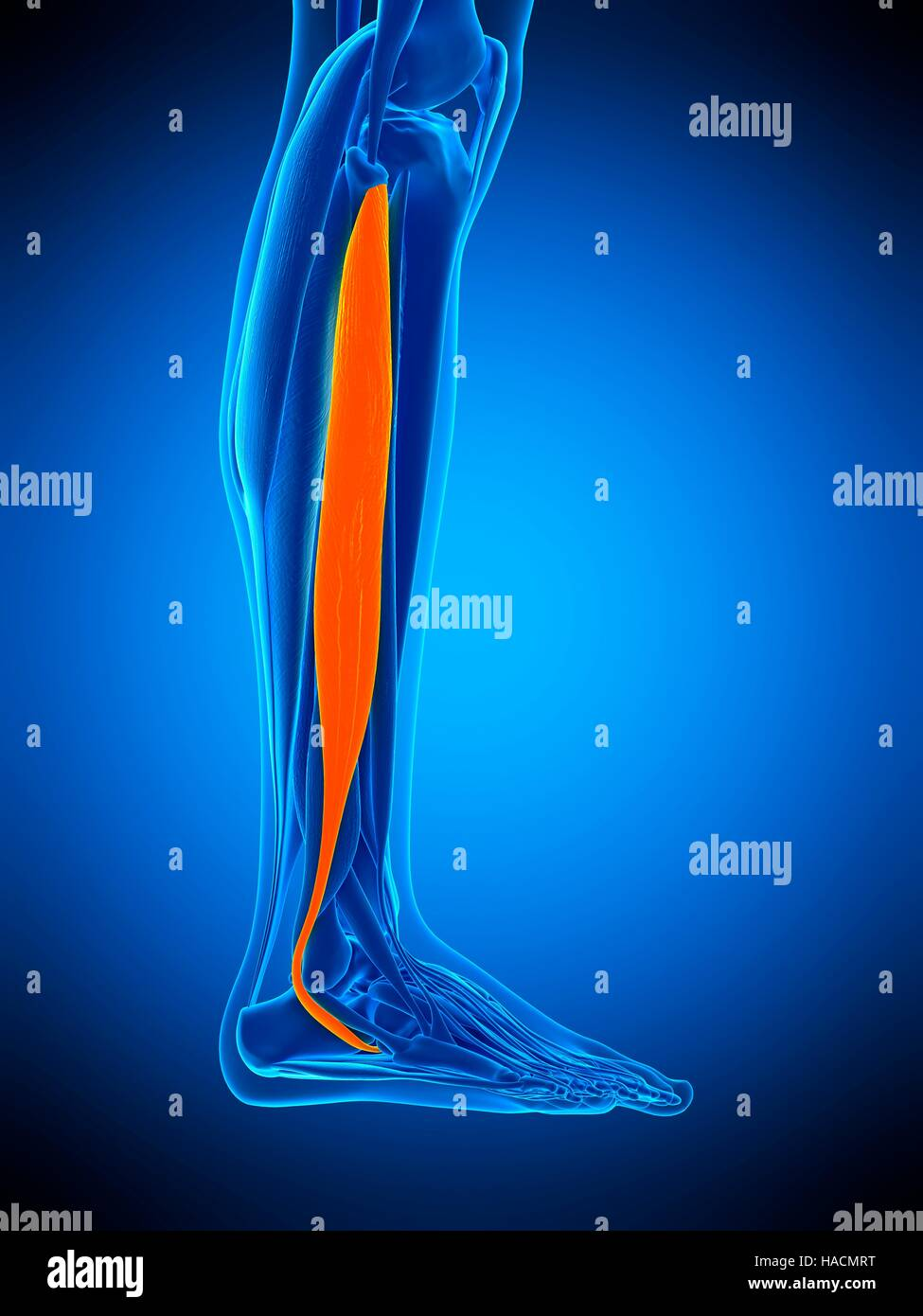 Illustration Of The Peroneus Longus Muscle Stock Photo 126898908