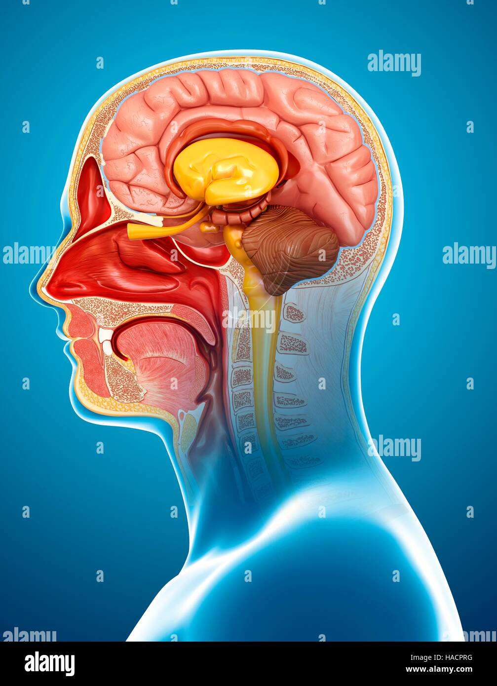 Illustration of human head and brain anatomy Stock Photo: 126900468 ...