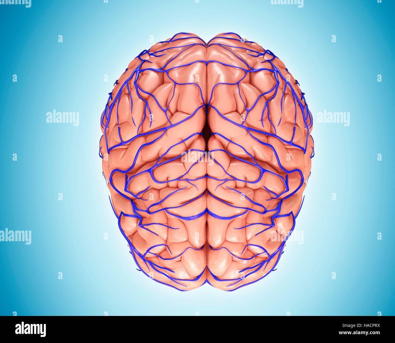 Illustration of brain veins and anatomy Stock Photo: 126900478 - Alamy