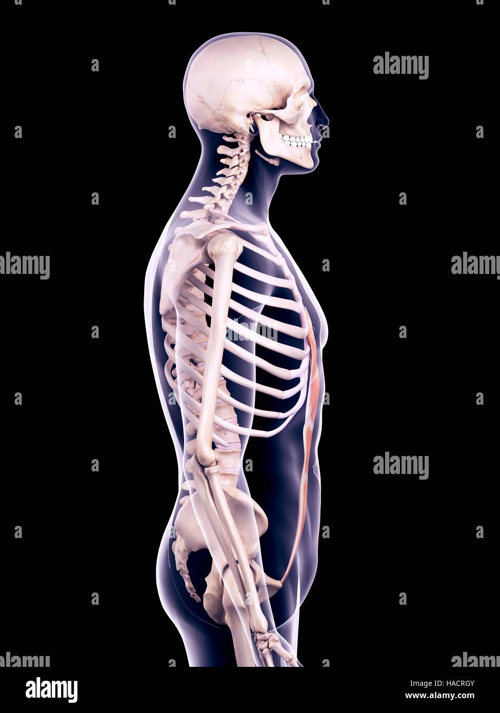 Illustration Of The Rectus Abdominis Muscle Stock Photo 126901067