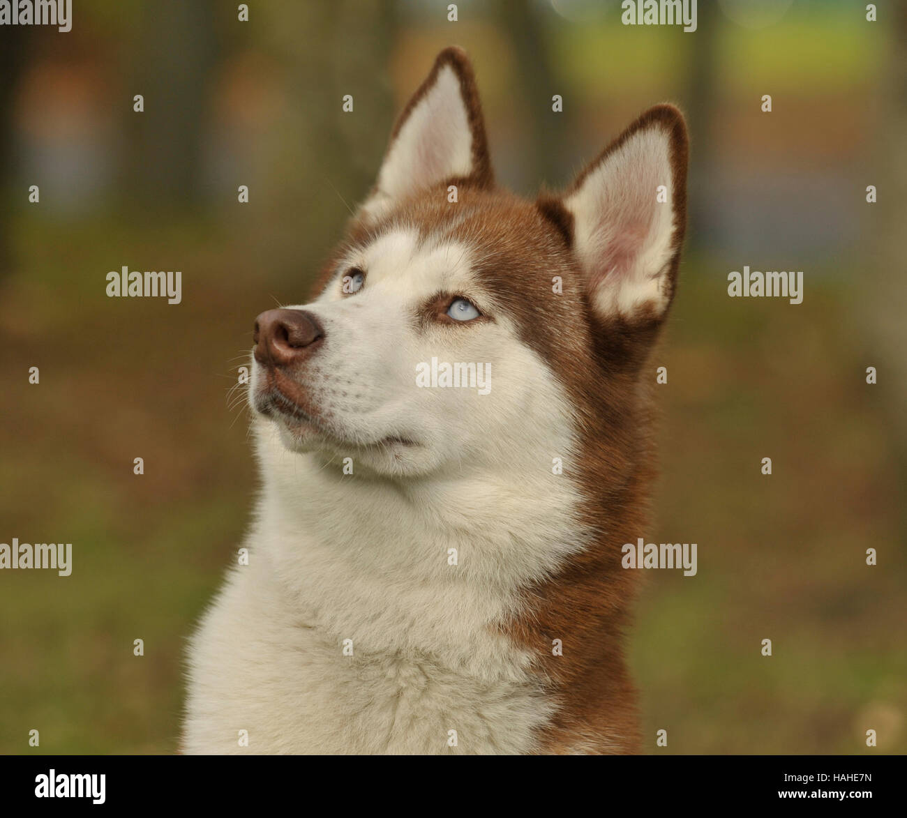 Siberian Husky Red And White Male Stock Photo 127003513 Alamy