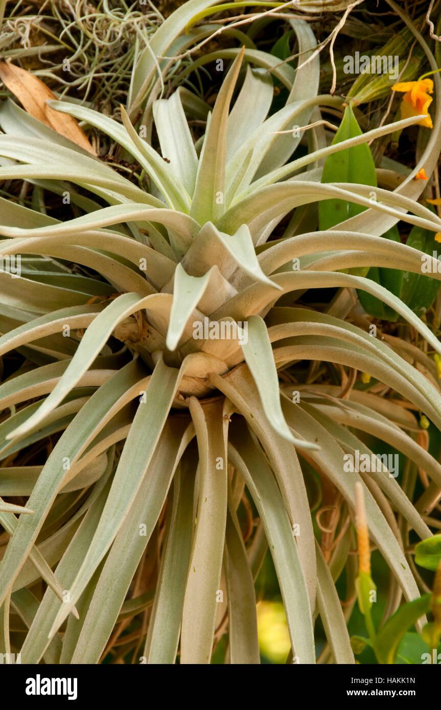 Epiphyte, San Antonio Botanical Garden, San Antonio, Texas Stock ...