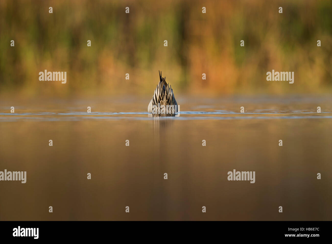 Only the tail end of a Northern Pintail is visible above the water as it reaches down into the shallows searching - Stock Image