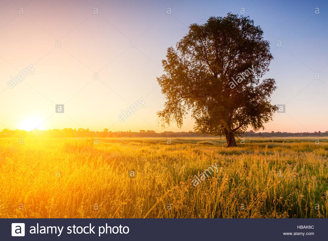 lonely tree on field at dawn - Stock Image