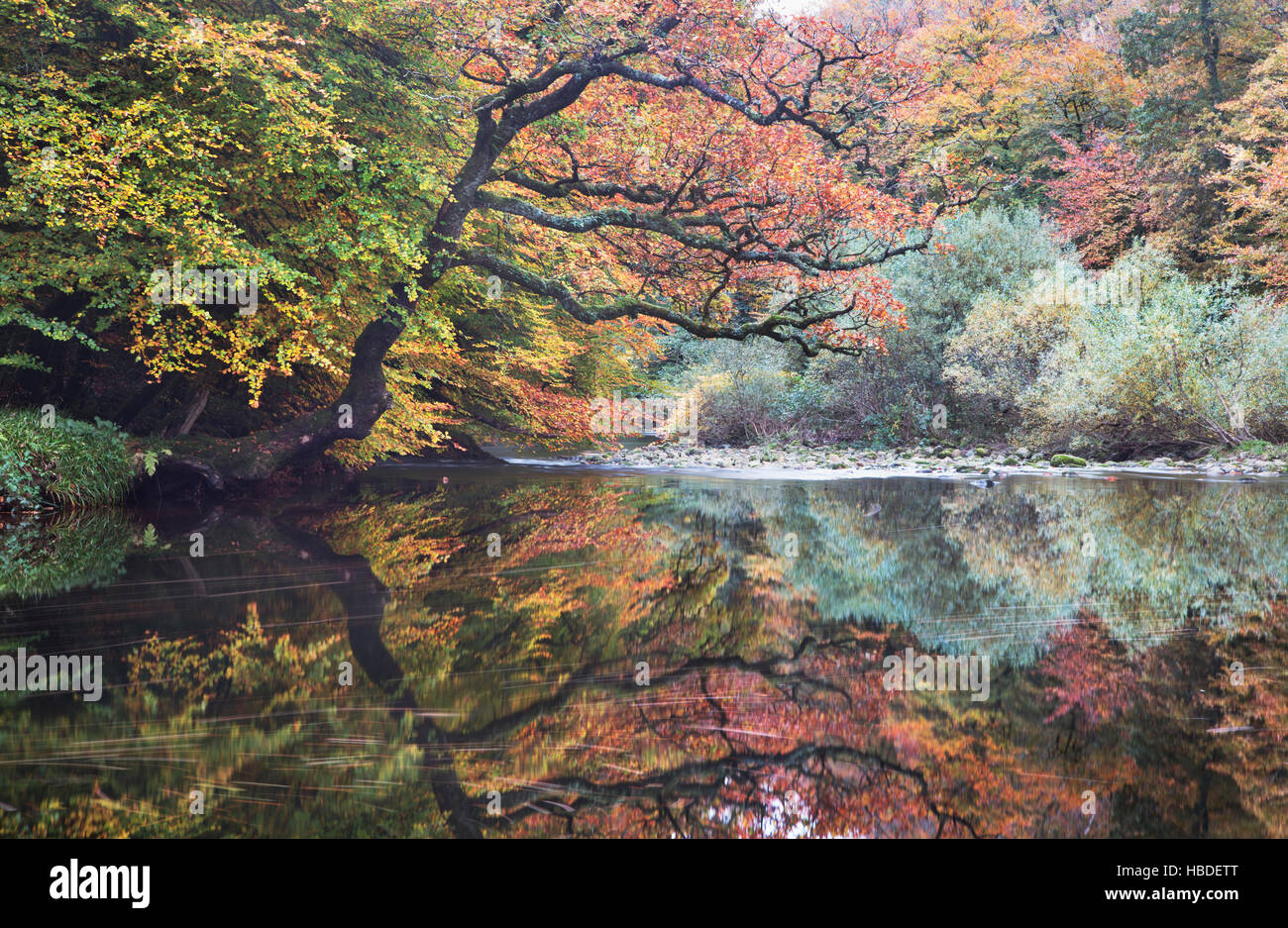 The River Dart passing through Hembury Wood in Devon, UK, with autumn colours on the trees - Stock Image