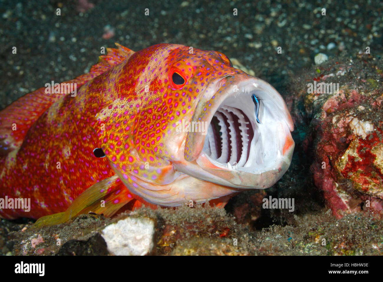 tomato-cod-or-tomato-grouper-cephalopholis-sonnerati-having-teeth-HBHW3E.jpg