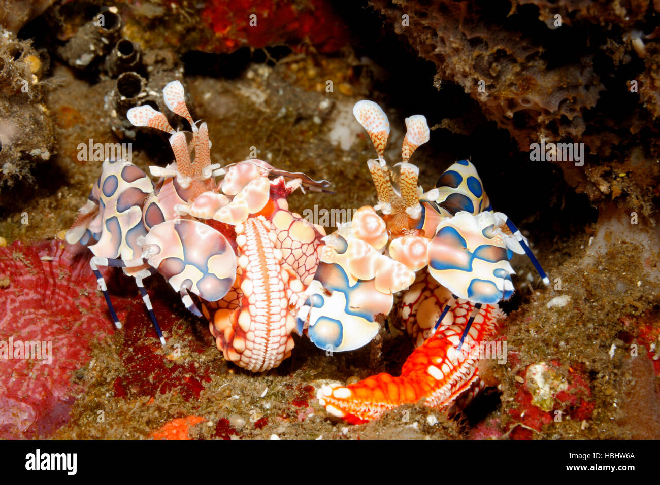harlequin-shrimps-hymenocera-picta-male-and-female-with-their-sea-HBHW6A.jpg