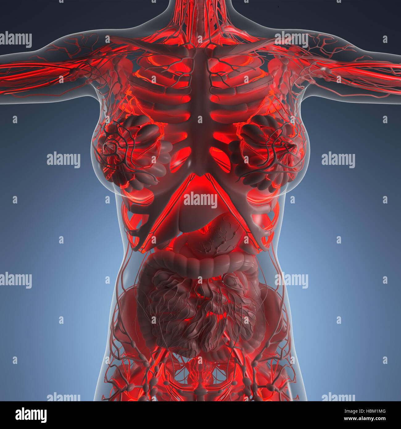 Science Anatomy Of Human Body In X Ray With Glow Blood Vessels Stock