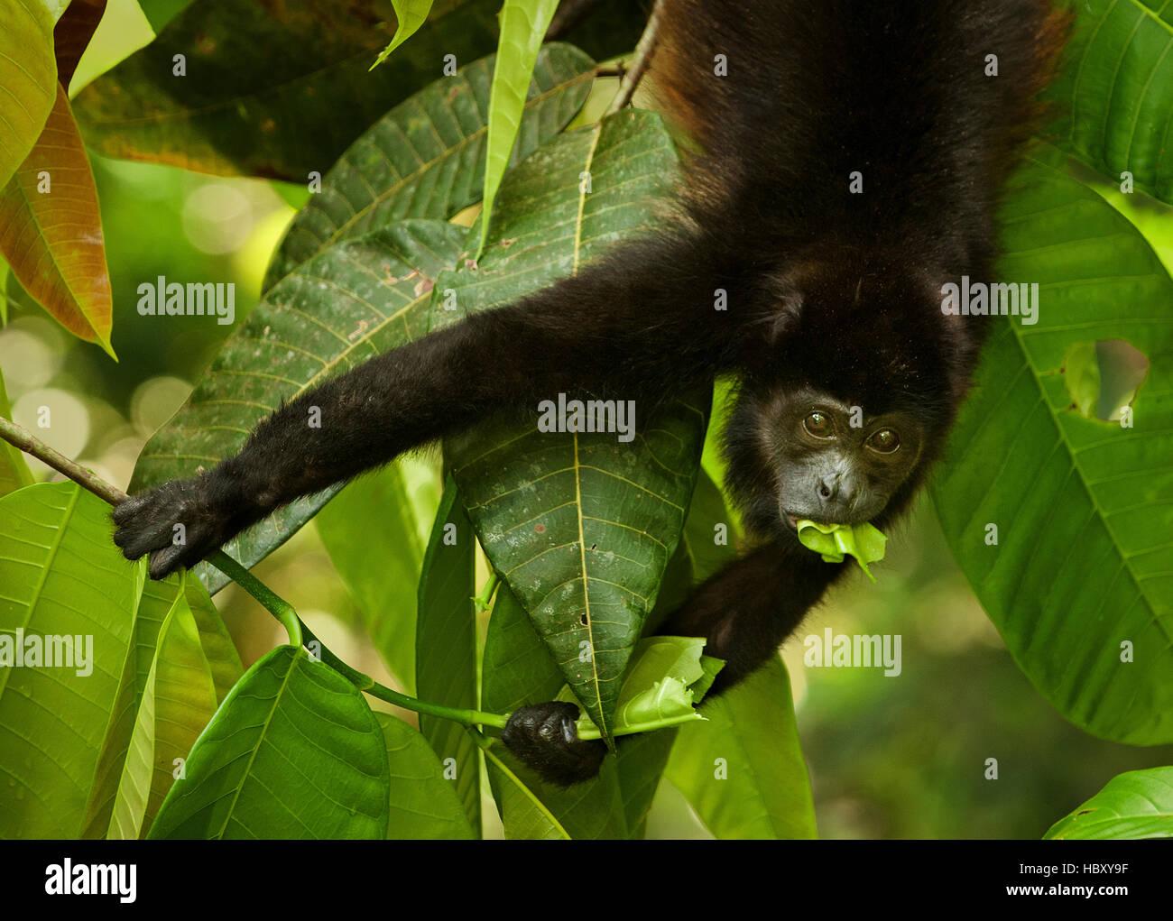 Mantled Howler Monkey (Alouatta palliata) eating a leaf, Costa Rica - Stock Image