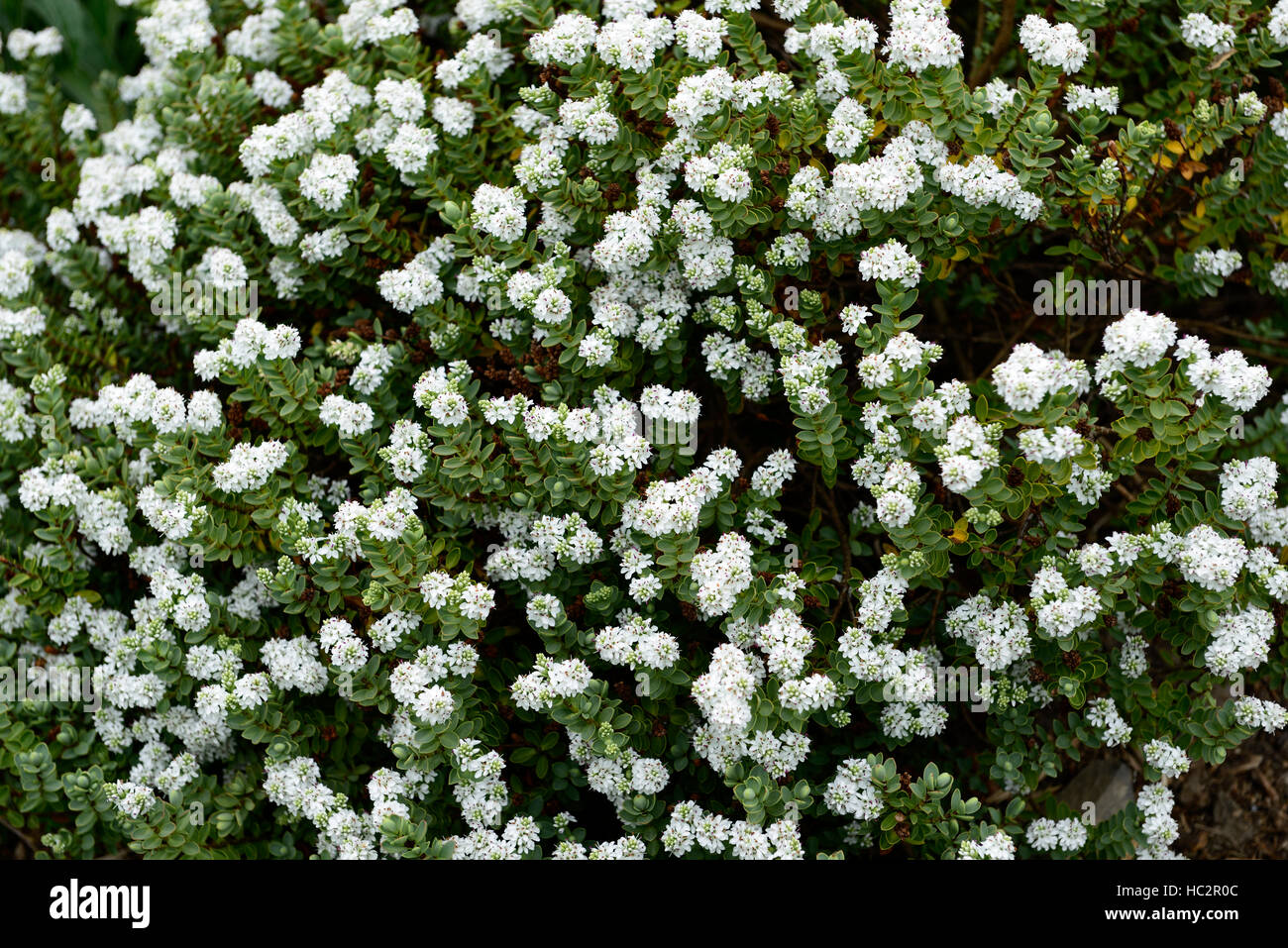 White hebe stock photos white hebe stock images alamy hebe cockayniana hebes white flower flowers flowering shrub shrubs new zealand native flora rm floral mightylinksfo Gallery