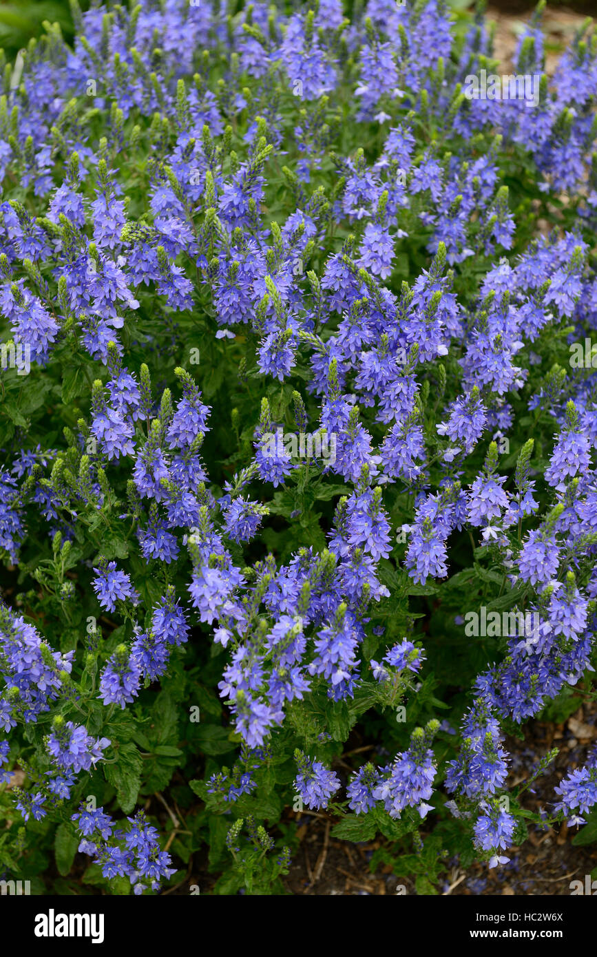 Creeping speedwell stock photos creeping speedwell stock images veronica teucrium creeping hungarian speedwell blue flower flowers flowering garden mound forming cover perennial stock izmirmasajfo Images