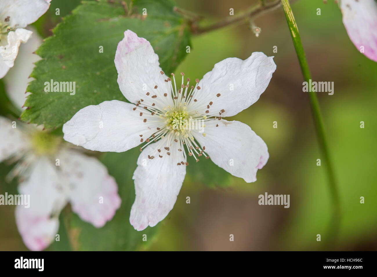 White Flower With Five Petals In Star Shape Showing Stamen And A