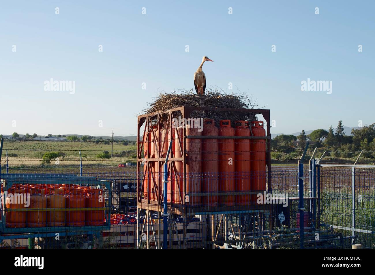 Stork's (ciconica ciconia) nest built on gas cannisters, Lagos Portugal - Stock Image