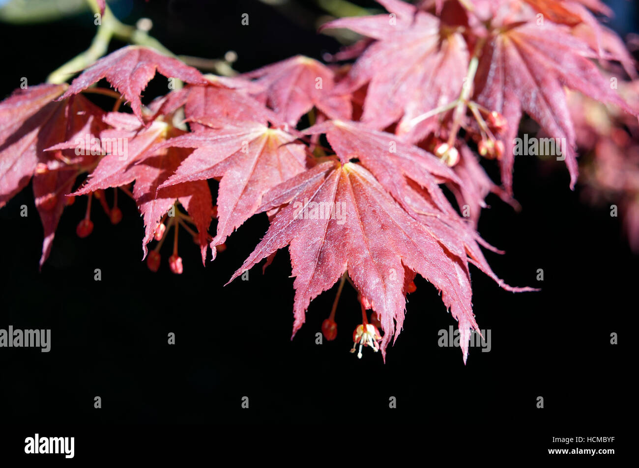 Close-up of red Japanese maple Acer palmatum tree leaves in spring, Vancouver, British Columbia, Canada Stock Photo