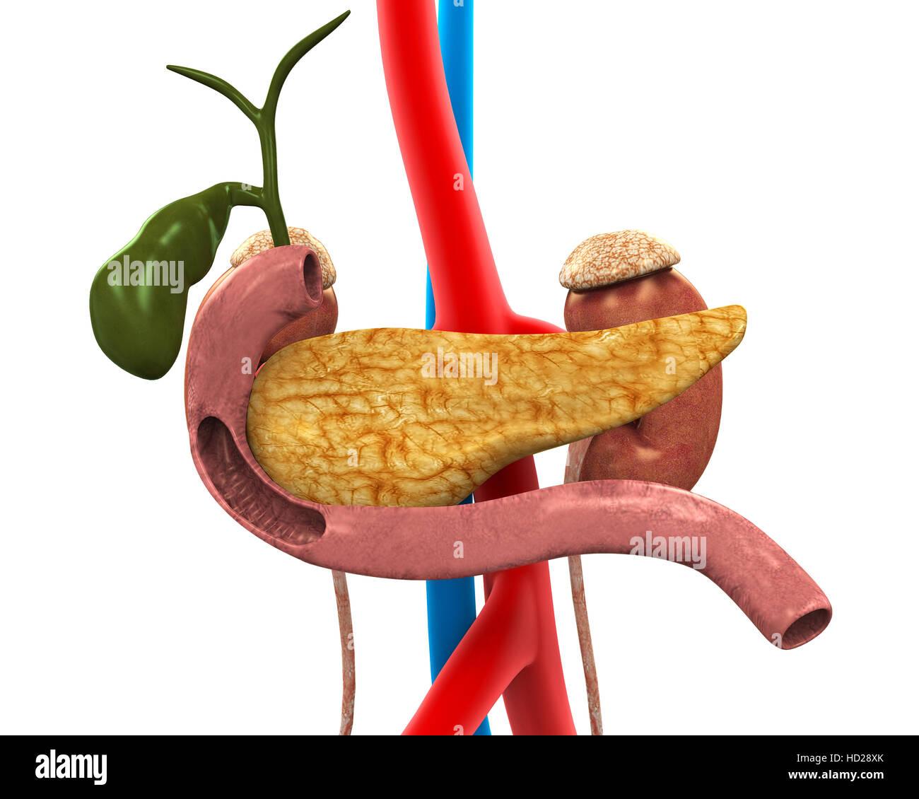 Human Gallbladder And Pancreas Anatomy Stock Photo 128514027 Alamy