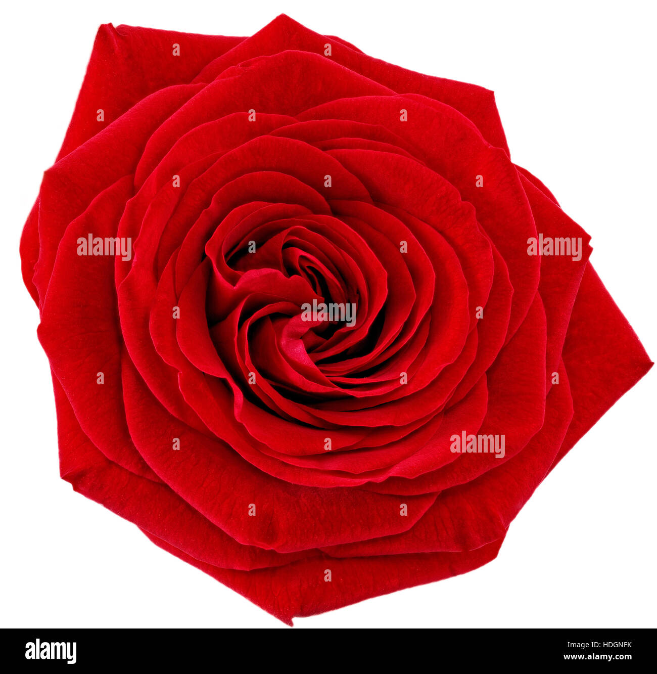 Beautiful Single Red Rose Flower Isolated Stock Photo 128831239