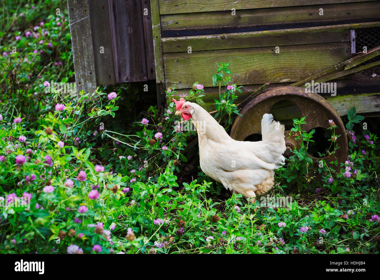 Rooster stands next to mobile chicken coop. - Stock Image