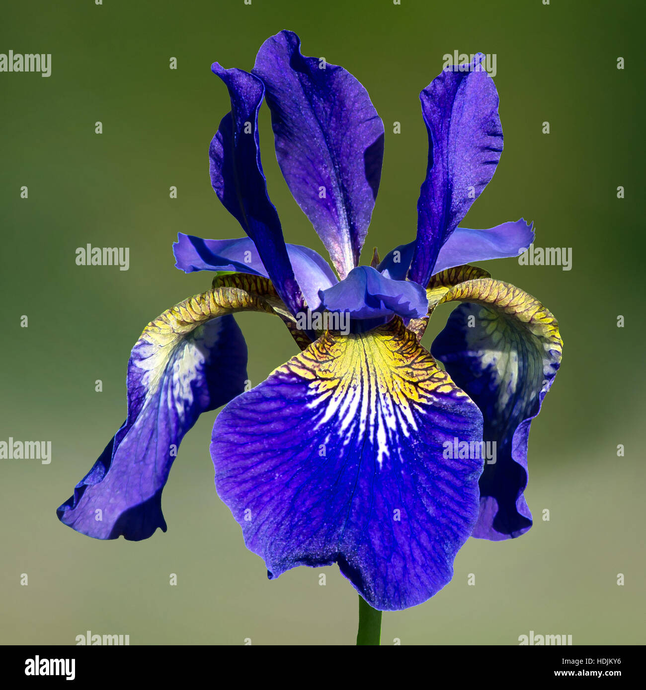 The Coloful Siberian Iris A Perennial Plant With Purple Blue Flowers