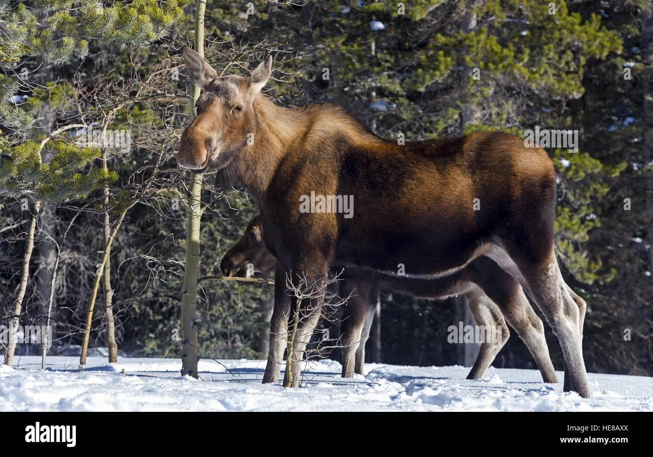 mama-moose-alces-alces-and-calf-looking-