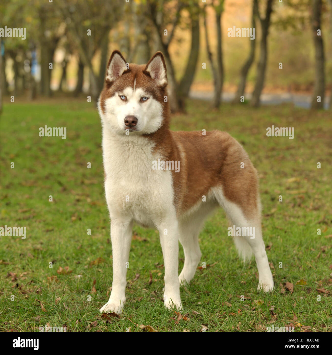 Male Siberian Husky Red And White Stock Photo 129350883 Alamy