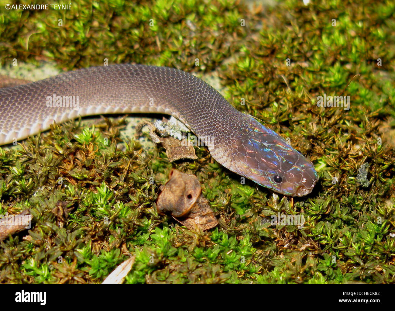 Phnom Penh. 19th Dec, 2016. Photo released by the World Wildlife Fund (WWF) on Dec. 19, 2016 shows a new species - Stock Image
