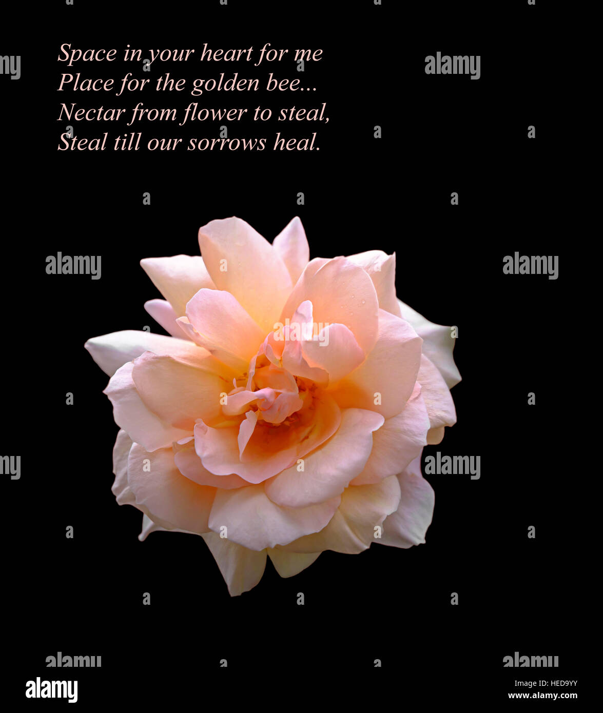 A beautiful pink rose cut out on dark background with an original a beautiful pink rose cut out on dark background with an original romantic verse by the poet russ merne izmirmasajfo
