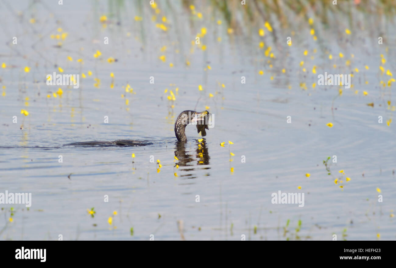 Little cormorant eating fish in the nature. - Stock Image