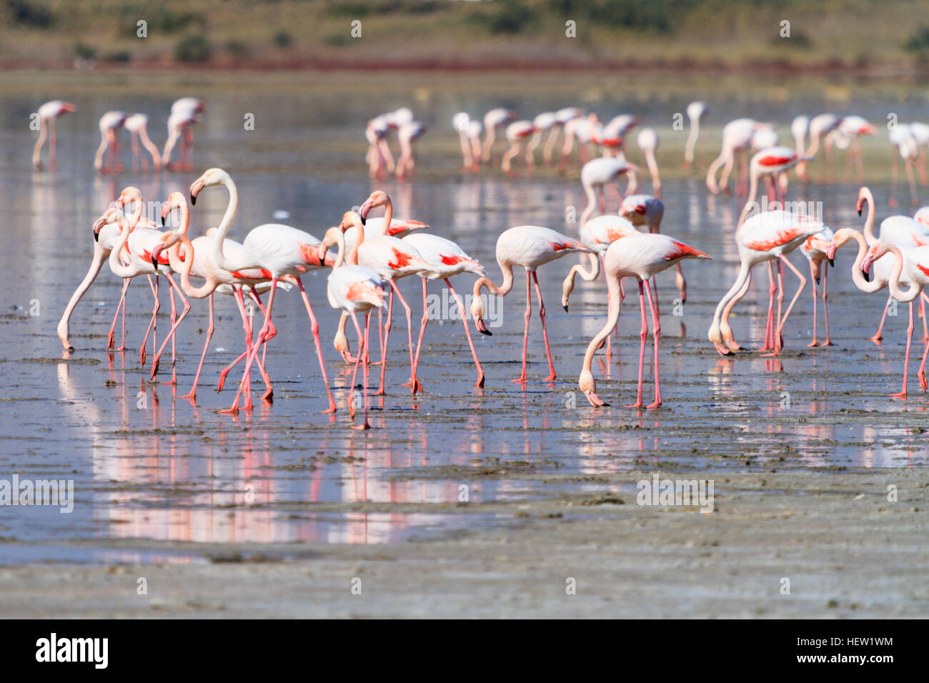 annual-flamingo-migration-to-larnaca-sal
