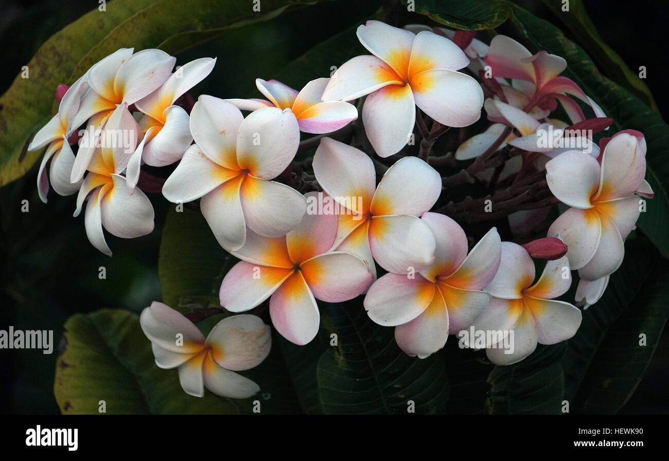 Plumerias are tropical trees famous for their gorgeous flowers which plumerias are tropical trees famous for their gorgeous flowers which are used to make leis floral garlands in regions with cold winters plumerias can be izmirmasajfo