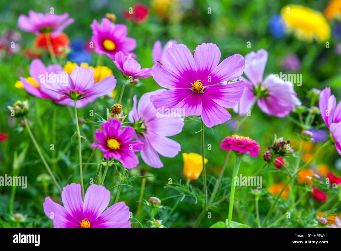 cosmos-bipinnatus-together-with-zinnia-e