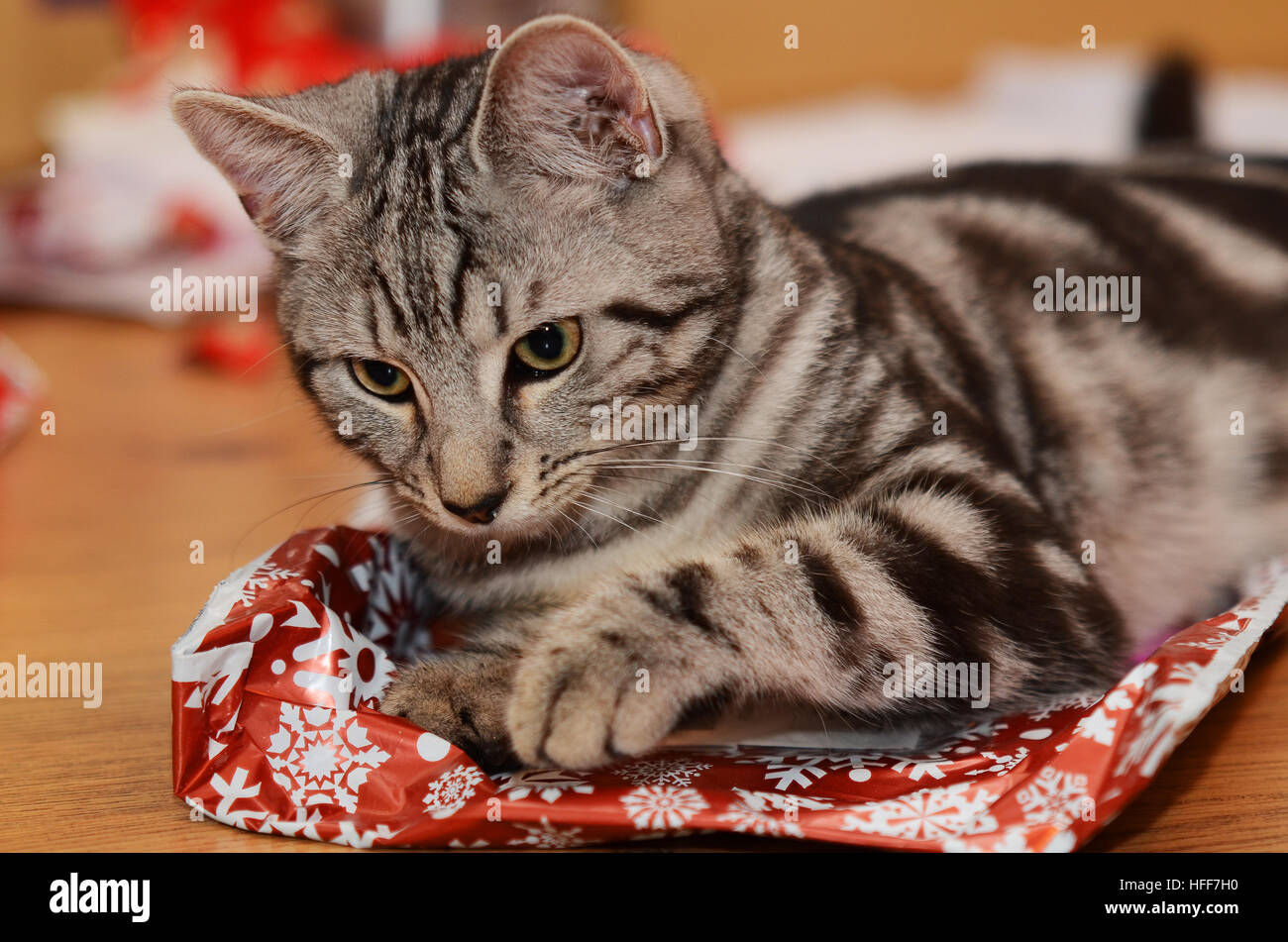 a-6-month-old-tabbybengal-kitten-opening-his-christmas-presents-HFF7H0.jpg