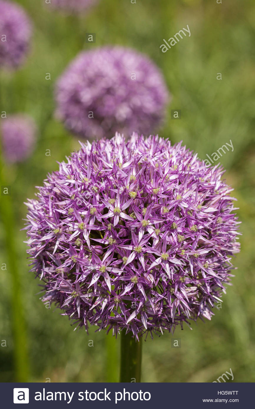 Allium 'Beau Regard'. Credit must include: © Jo Whitworth - Stock Image