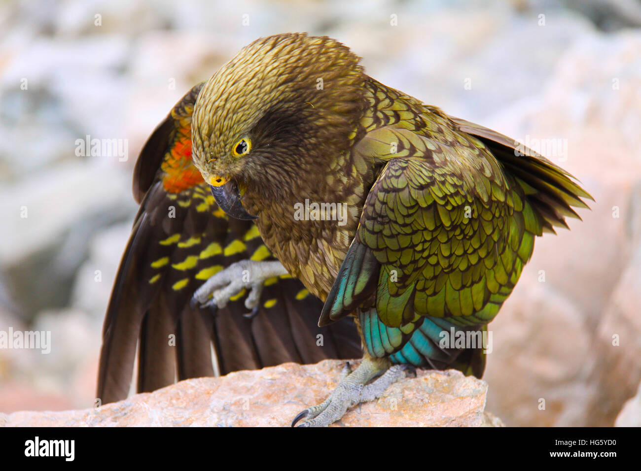 kea-bird-nestor-notabilis-spreading-its-
