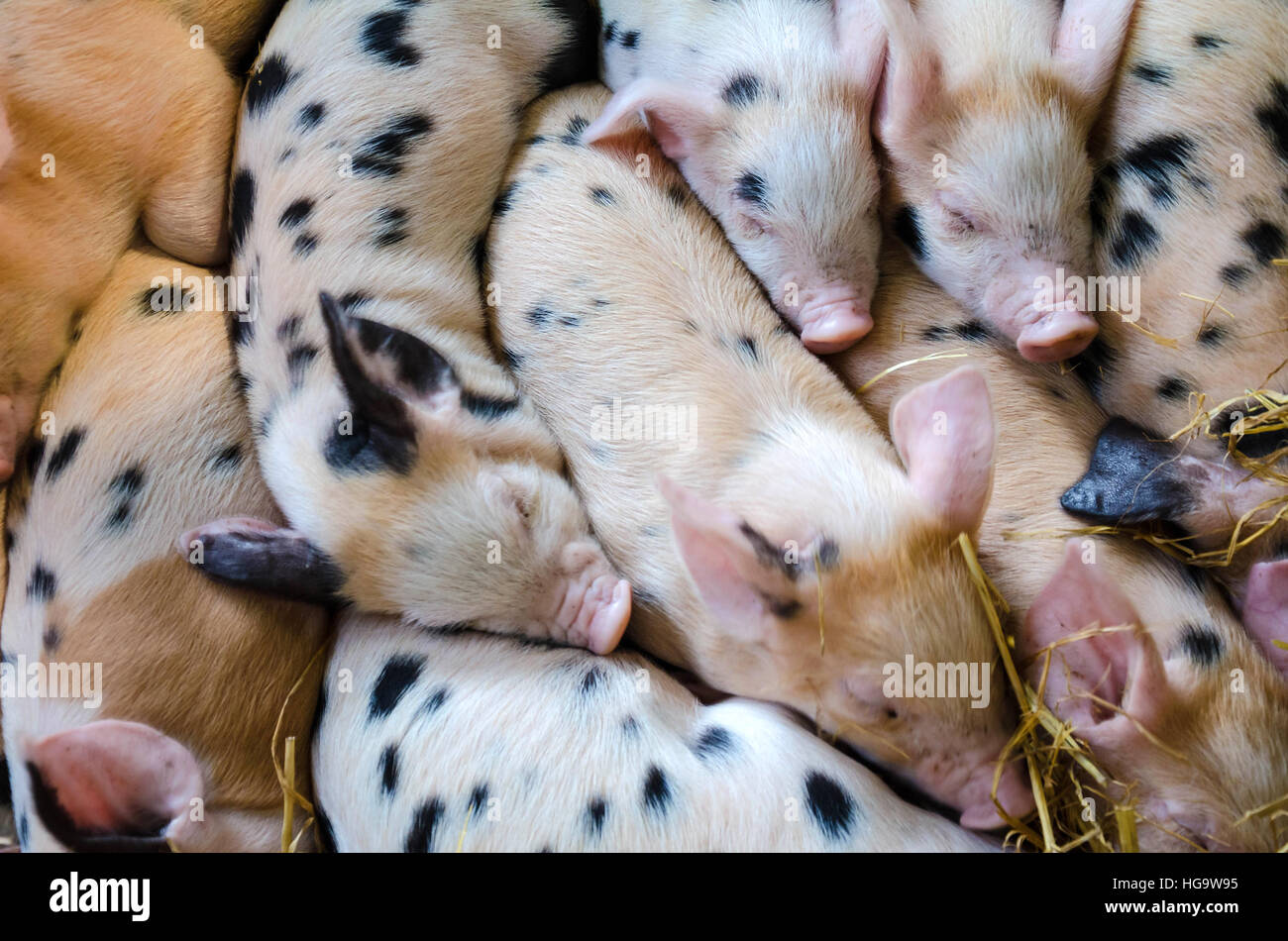 gloucester-old-spot-piglets-snuggle-up-together-in-a-barn-HG9W95.jpg