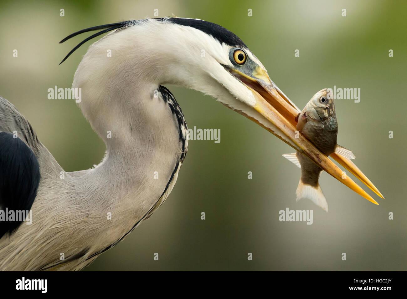 Grey heron (Ardea cinerea) catching a fish - Stock Image