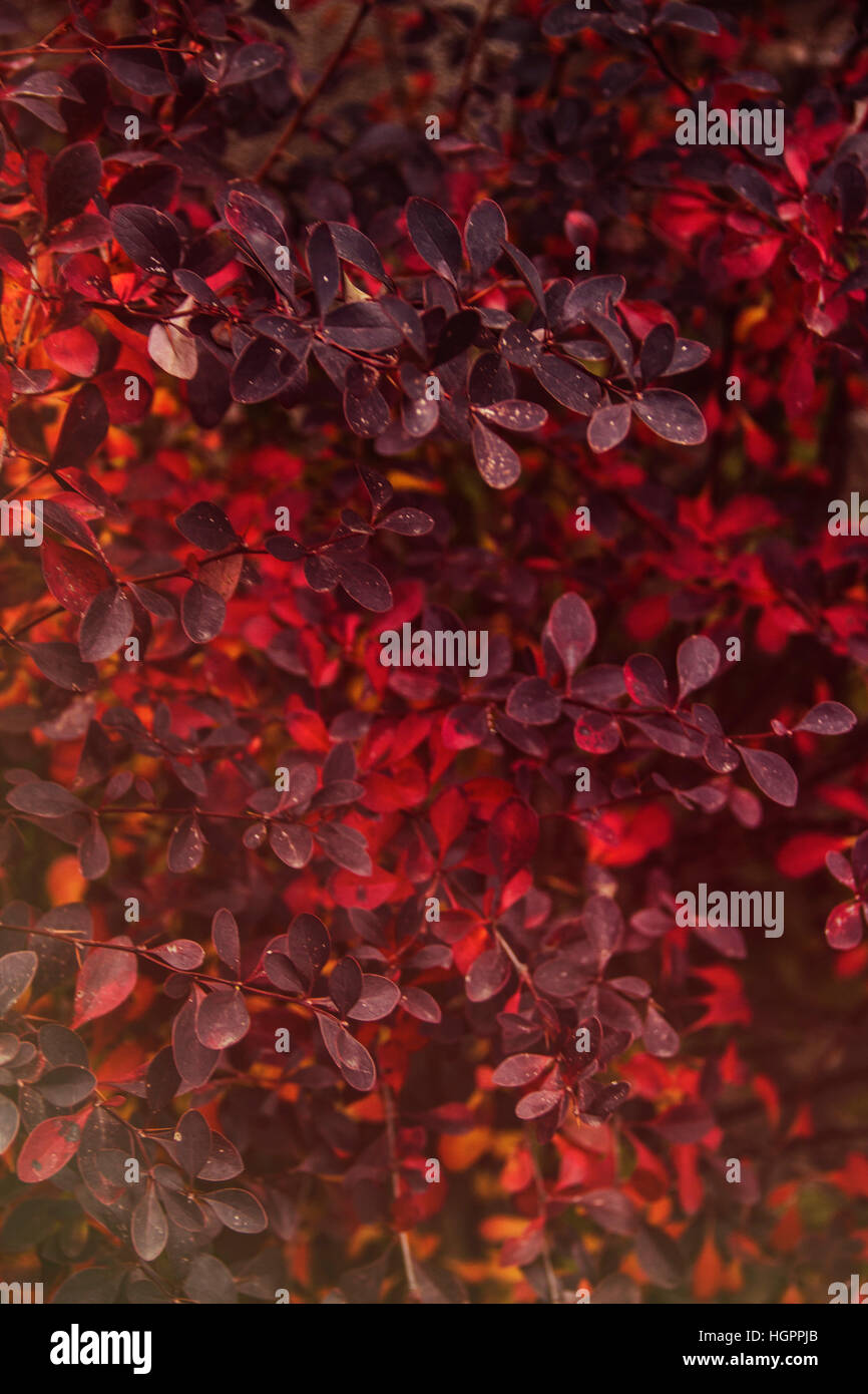 Natural texture of red leaves - Stock Image