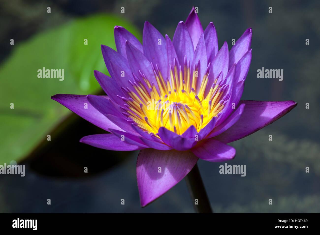 Blue lotus also blue water lily or sacred blue lily nymphaea stock blue lotus also blue water lily or sacred blue lily nymphaea caerulea flower sri lanka izmirmasajfo