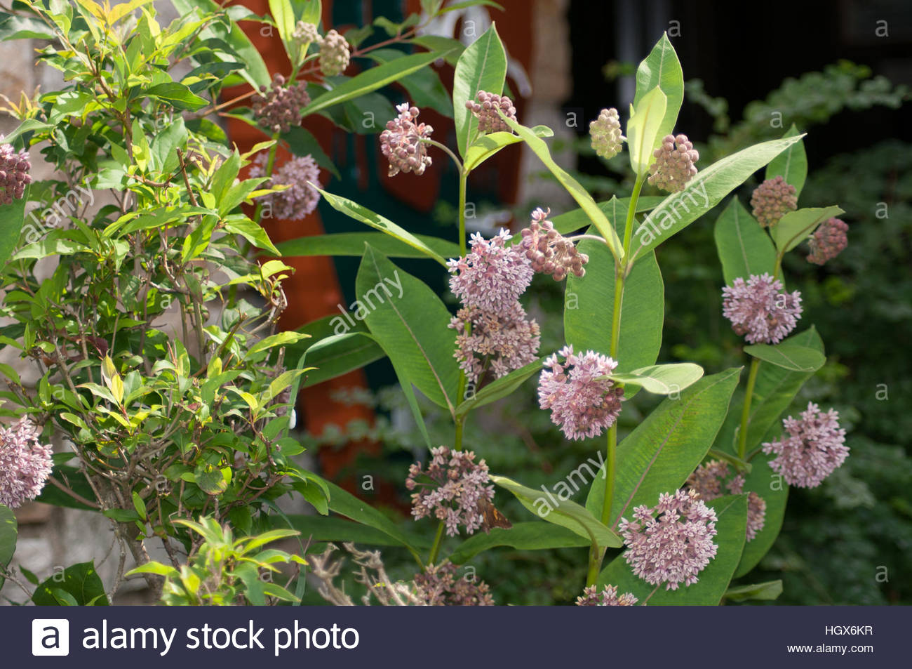 milkweed-in-flower-the-species-that-mona