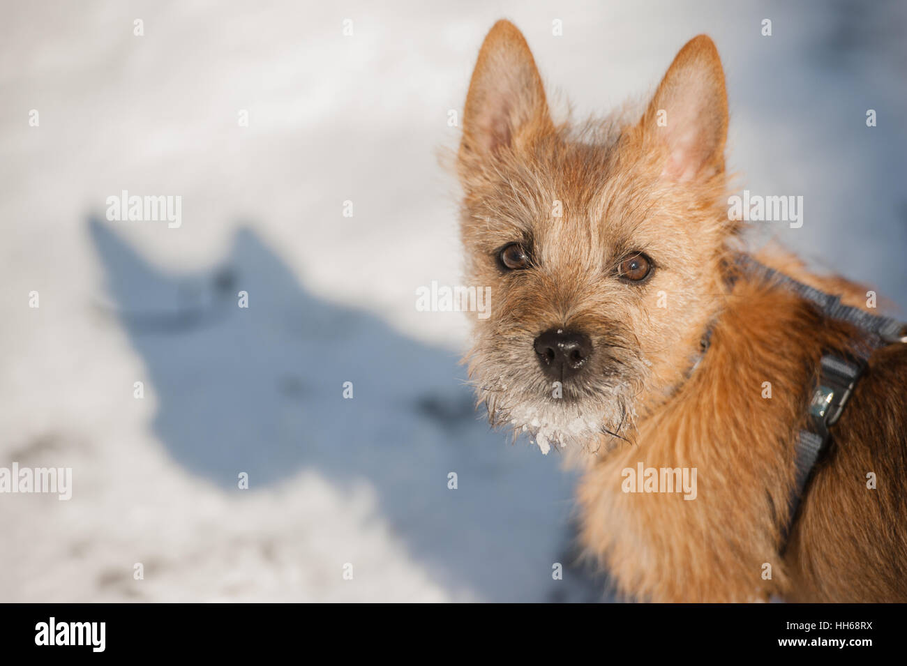 Good Cairn Terrier Ball Adorable Dog - cute-cairn-terrier-puppy-playing-outside-in-cold-winter-snow-young-HH68RX  Image_104270  .jpg