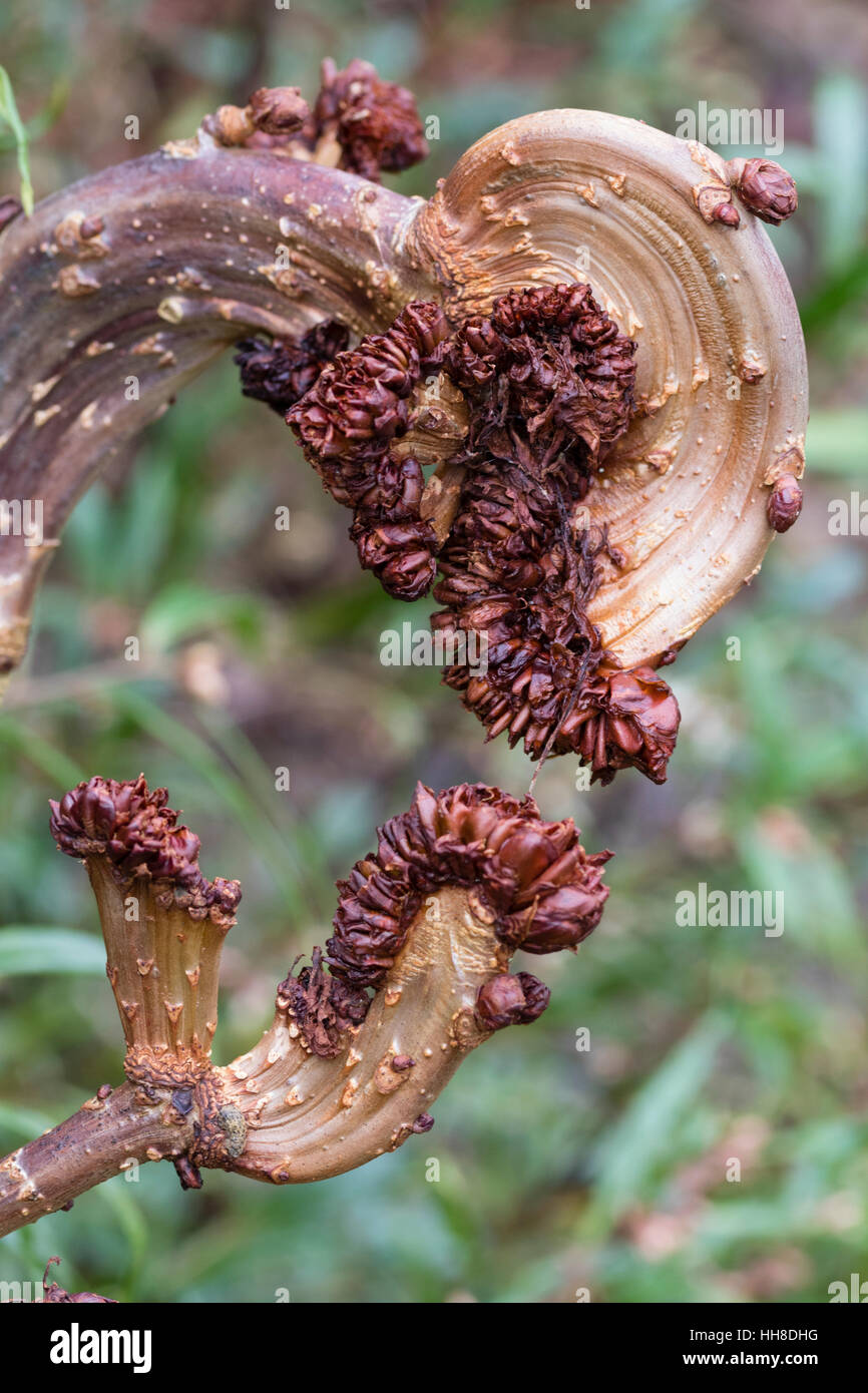 twisted-fasciate-growth-of-the-dwarf-horse-chestnut-aesculus-hippocastanum-HH8DHG.jpg