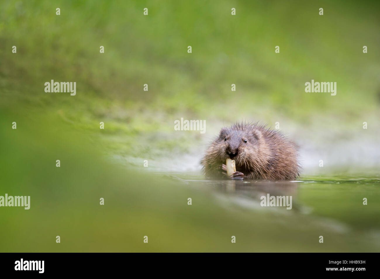A Muskrat sits in the shallow water eating some aquatic vegetation on a warm overcast summer morning. - Stock Image