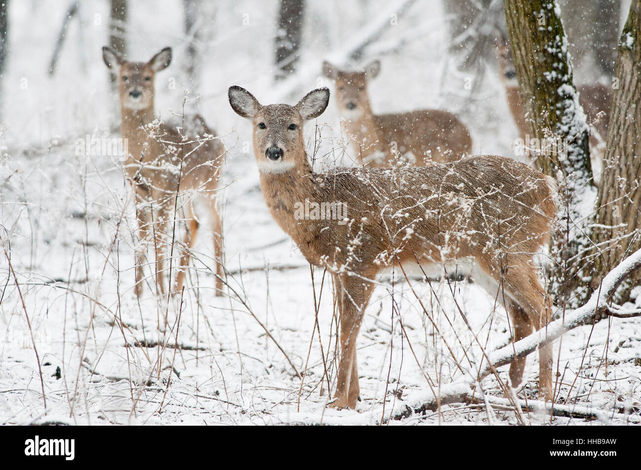 A group of Whitetail Deer stand in an early spring snow in the forest. - Stock Image