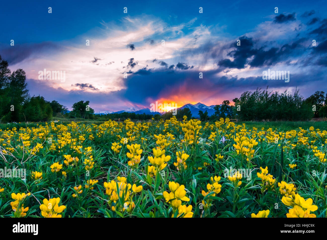 A field of brilliant yellow flowers in front of a spectacular sunset in the Rocky Mountains of Colorado Stock Photo