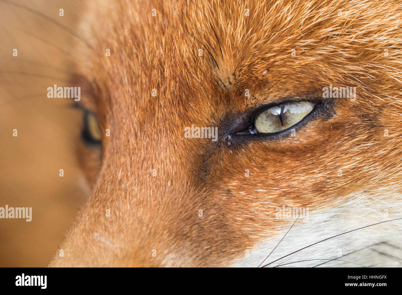 Red Fox ( Vulpes ) Close up of Face and Eye - Stock Image